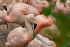 A juvenile Flamingo standing in water royalty free stock photography