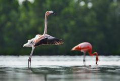 The juvenile  flamingo  waved wings Stock Photography
