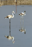 Juvenile Flamingos and reflection in water Stock Photo