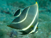 Juvenile French Angelfish Royalty Free Stock Photography