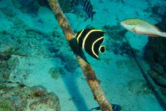 Juvenile French Angle. This photo of Juvenile French Angle was taken while Scuba Diving the Salt pier in Bonaire Stock Photography