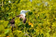 Juvenile Frigate bird Royalty Free Stock Images
