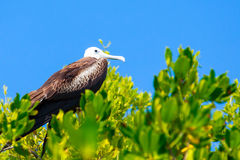 Juvenile Frigate bird Royalty Free Stock Image