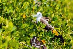 Juvenile Frigate bird Royalty Free Stock Photos