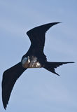 Juvenile frigate bird flying Stock Photos