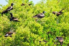 Juvenile Frigate birds Royalty Free Stock Photo