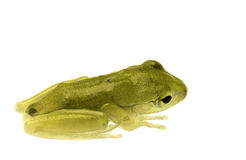 Juvenile Frog Isolated. Isolated macro image of a juvenile frog Stock Images
