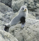 Juvenile Fur Seal. On the lookout at the Kaikoura Coast, South Island, New Zealand Stock Photos