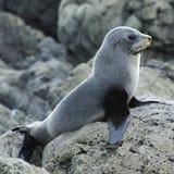 Juvenile Fur Seal. On guard, Kaikoura Coast, South Island, New Zealand Stock Images