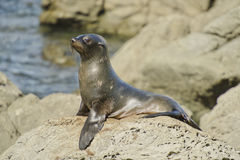 Juvenile Fur Seal on Watch. In a colony along the Kaikoura Coast, South Island, New Zealand Royalty Free Stock Image