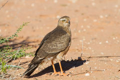 Juvenile Gabar Goshawk standing on dry sand Stock Photography