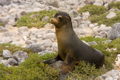 Juvenile Galapagos sea lion (Zalophus wollebaeki). Joung Galapagos sea lion (Zalophus wollebaeki, South Plaza Island, Galapagos, Ecuador Stock Photos