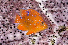 Juvenile garibaldi swimming around reef. A juvenile garibaldi, the state fish of California, is characterized by its iridescent blue spots, which disappear as Royalty Free Stock Photography