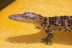 Juvenile Gator Royalty Free Stock Image