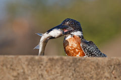 Juvenile giant kingfisher Royalty Free Stock Photos