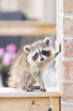Juvenile ginger-haired raccoon. Leaning on a brick wall while perched on a wooden garden fence Stock Photo