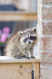 Juvenile ginger-haired raccoon. Perched on a wooden garden fence Stock Photos
