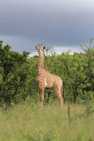 Juvenile giraffe Stock Image
