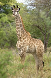 Juvenile Giraffe (Giraffa camelopardalis) Royalty Free Stock Photos