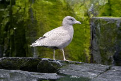 Juvenile Glaucous gull. OnGuillemote Cliffs at Alkefjellet, Arctic Circle stock photography