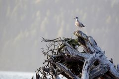 Juvenile Glaucous-winged gull Larus glaucescens Royalty Free Stock Photography