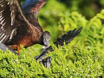 Juvenile Glossy Ibis Being Fed Stock Photo