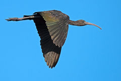 Juvenile Glossy Ibis In Flight Royalty Free Stock Photos