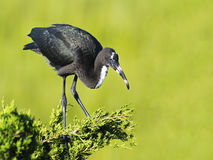 Juvenile Glossy Ibis standing in a Tree Stock Photo