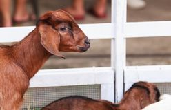 Juvenile goat kids behind white fences. Domestic goats, one of the oldest domesticated animals, have been raised for milk, meat,. Fur, and skins. Farming royalty free stock image