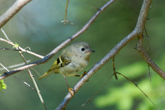 Juvenile goldcrest in firry forest Stock Photography
