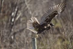 Juvenile Golden Eagle Wings spread Royalty Free Stock Images