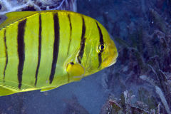 Juvenile golden trevally (gnathanodon speciosus) Stock Photo