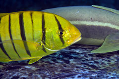Juvenile golden trevally (gnathanodon speciosus) Royalty Free Stock Image