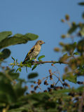 Juvenile Goldfinch on Blackberry bush Royalty Free Stock Images