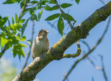 Juvenile Goldfinch on branch. A fledging European Goldfinch - Carduelis carduelis -  showing it`s distinctive plumage characteristic of less than two month old Royalty Free Stock Photos