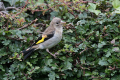 Juvenile goldfinch Stock Image