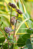 Juvenile Goldfinch on Thistle plants Stock Image