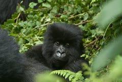Juvenile gorilla Royalty Free Stock Images