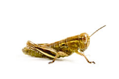 Juvenile grasshopper isolated in white.  Royalty Free Stock Photo