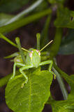 Juvenile Grasshopper on a leaf. A juvenile grasshopper sits on a leaf, facing camera, poised to jump stock photography