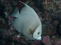 Juvenile Gray Angel Fish on a reef. Royalty Free Stock Photography