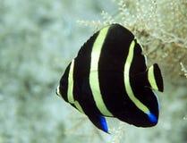 Juvenile Gray Angelfish. Pomacanthus arcuatus Stock Photos