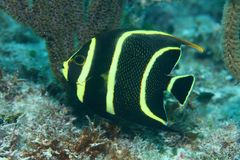 Juvenile gray angelfish. (Pomacanthus arcuatus) in the coral reef of the caribbean Stock Photography