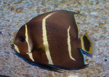 Juvenile Gray Angelfish Pomacanthus Paru. The gray angelfish, easily confused with the French angelfish Pomacanthus paru, is common among the coral reefs in the stock images