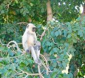 A Juvenile Gray Langur. Southern Plains Gray Langur, also known as hanuman langur or Semnopithecus Dussumieri, sitting among branches of a tree Stock Photos