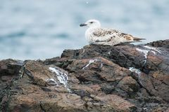 Great Black-backed Gull. Juvenile Great Black-backed Gull sitting on a rock stock photos