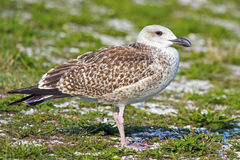 Juvenile Great Black-backed Gull. Standing on the shoreline Royalty Free Stock Photography