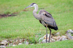 Juvenile Great Blue Heron, Athens, Georgia Stock Photos