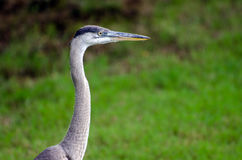 Juvenile Great Blue Heron head shot, Athens, Georgia Royalty Free Stock Photography