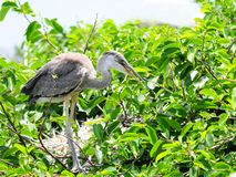 Juvenile great blue heron in nest, Florida Royalty Free Stock Photography